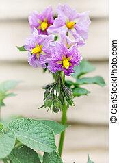 purple flower potatoes - Beautiful purple flower potatoes,...