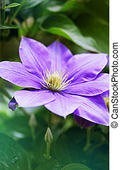 clematis - Beautiful, large purple clematis flower in the...