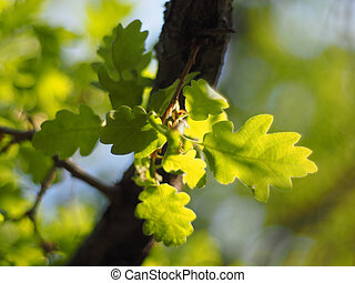 oak leaves in the forest