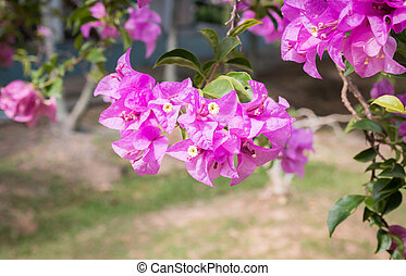 pink bougainvilleas on branch with green leafs