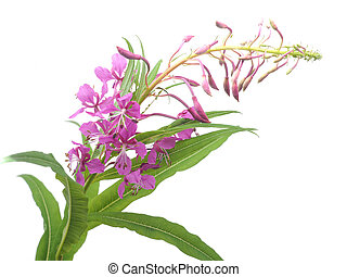 flowers of Willow-herb (Ivan-tea) on a white background