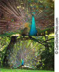 Collage of beautiful peacock with feathers out, Kuala Lumpur...