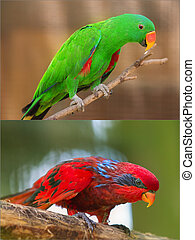 Collage of beautiful Chattering Lory Lorius on a branch -...