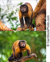 Collage of brown capuchin monkey looking among the trees
