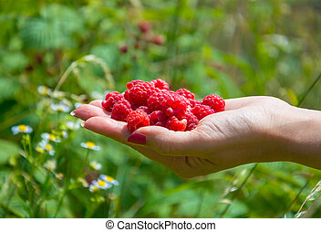 Handful of raspberries in a female hand on a background of...