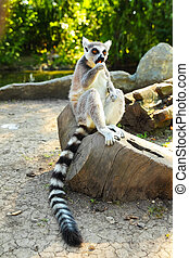 Lemur catta or ring-tailed lemur, close up