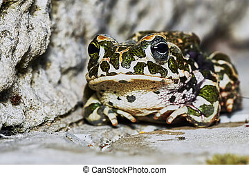 Green frog in the garden path