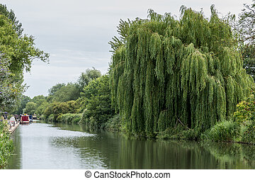 Willow tree on the Kennet and Avon Canal in Aldermaston...