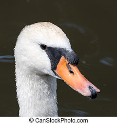 Swan on the Kennet and Avon Canal near Aldermaston Berkshire...