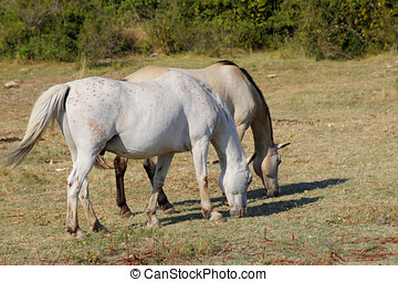 Horse Lipizzaner - Two young Lipizzaner on pasture in summer...