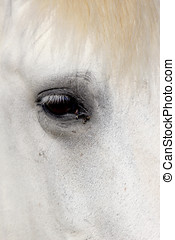 Horse Lipizzaner - A close up of an eye of a white...