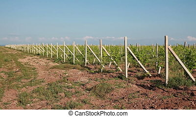 Rows Of Vineyard - Rows Of Young Vineyard