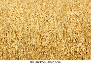 trigo, campo, luminoso, verão, Dia