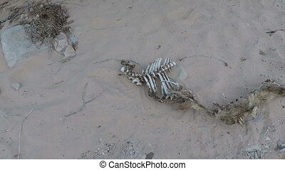 Hand held shot bones in desert - Hand held shot animal bones...