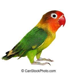Lovebird, aislado, en, white, ,