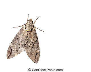 The geometer moth Trichopteryx carpinata isolated on white...