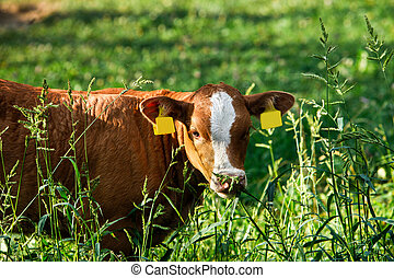 Freely grazing cow. Organic and sustainable farming.