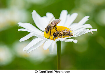 Bees sucking nectar from daisy flower