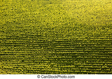 Vine rows in perfect sunlight, textured background, from air