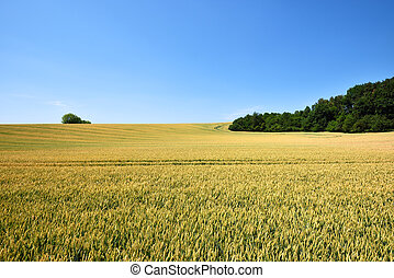Field of wheat crop with blue sky in summer