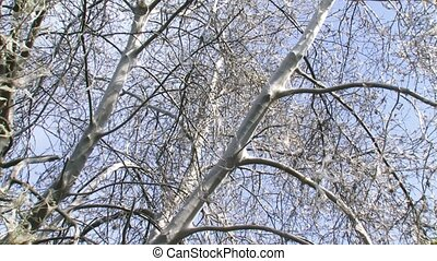 Tree covered with silver silk web of Ermine moth larvae 02