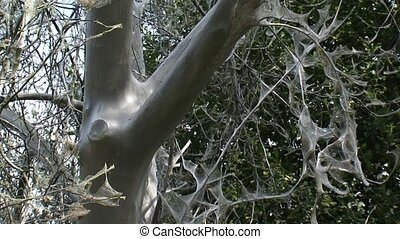 Tree trunk covered with silver silk web of Spindle moth...