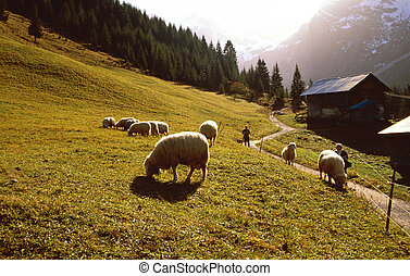 Flock of sheep in the austrian mountains