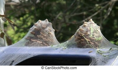 Pinecones covered in silk web of Ermine moth larvae,...