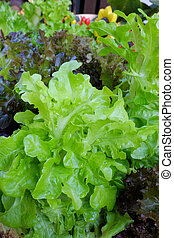 salad leaves with Green Oak, Red Leaf Lettuce isolated on...