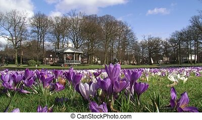 Spring colors in city park crocus field in Oranjepark...