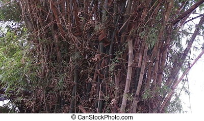 large bamboo bush on river bank in Vietnam