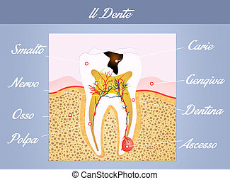 tooth anatomy - illustration of tooth anatomy