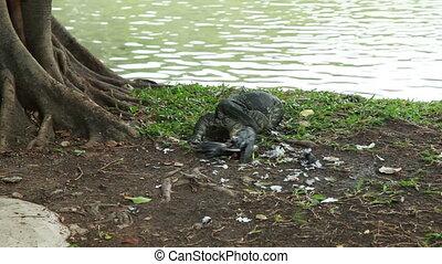 monitor lizard eating pigeon, Lumphini Park, Bangkok