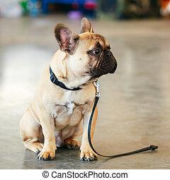 Dog French Bulldog - Lost Sad Dog French Bulldog sitting on...