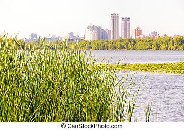 Reeds close to the Dnieper River - Reeds Typha Latifolia...