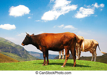 Three cows at the top of the hill
