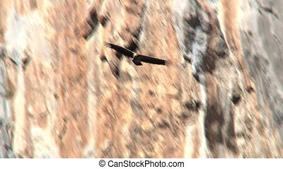 Vulture in flight in front of cliff.
