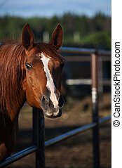 Curious horse in paddock - Curious chestnut horse in paddock
