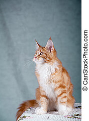 Maine coon kitten - Red maine coon kitten sitting over a...