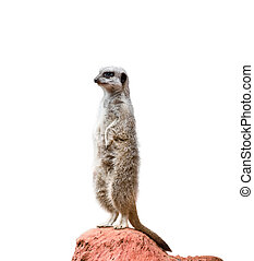 Alert Suricate or Meerkat - Alert Suricate or meerkat over a...