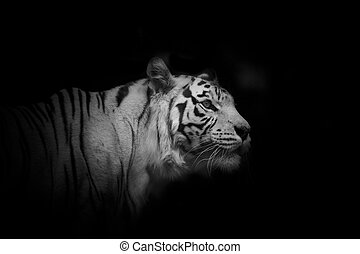 young white tiger male over a darkness - young white tiger...
