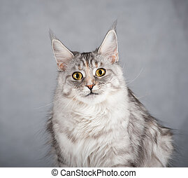 Gray female maine coon cat looking attentively