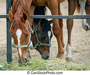 Horses having dinner - Young purebred horses in paddock...