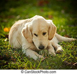 Golden retriever puppy laying on a meadow in summer