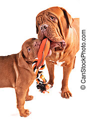 Dogs Playing - Big Dogue de Bordeaux competing with a puppy...