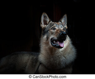 Male wolfdog, studio shot over a black background