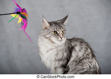 Maine coon - Beautiful maine coon cat over a grey background