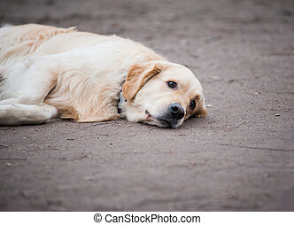 sad dog - Concept: sad golden retriever dog is laying on a...