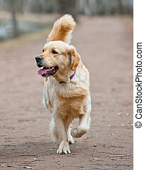 Golden retriever - Adult golden retriever male is trotting...