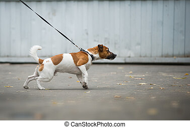 Dog pulling the leash on a walk - Jack russel terrier pulls...